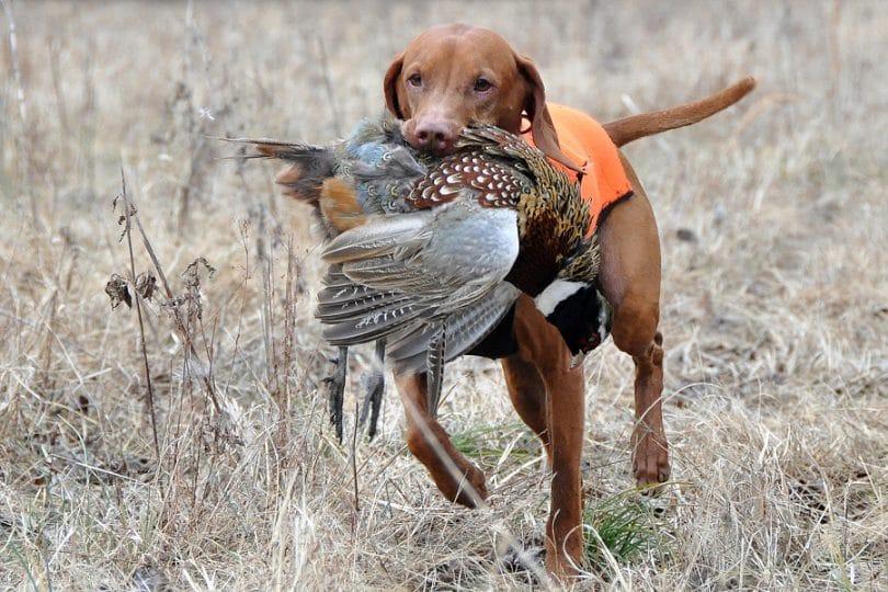 best-pheasant-hunting-dog